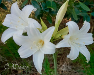 Madonna Lilies Naked Ladies Belladonna Lilies white