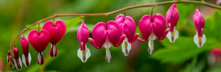 Bleeding Heart Flower Care for Bleeding Heart Plant How To Grow Bleeding Hearts