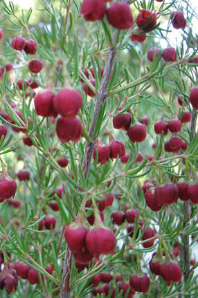 Brown Boronia Boronia Megastigma