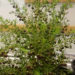 Boronia Plant Growing Boronias