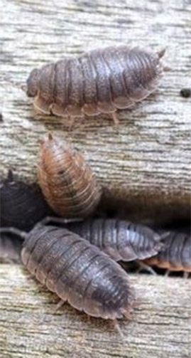 Control Slaters How to Get Rid of Roley Poleys Pill Bugs Wood Lice Sowbugs in the Garden