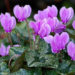 Cyclamen Plants Interior home décor