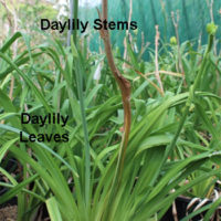 Daylilies & Lilies Know & How to Tell the Difference