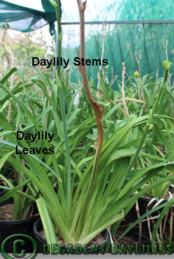 Daylilies Lilies Know the Difference