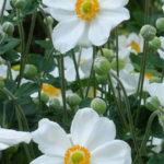 Japanese Anemones Windflower Plants