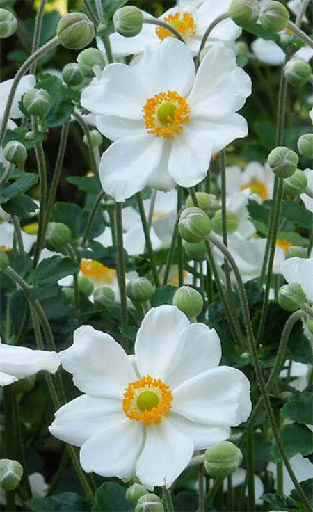 How to Grow Japanese Anemones in the Garden