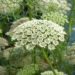 Queen Anne's Lace Wild flower Edable