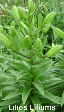 Lilies Liliums