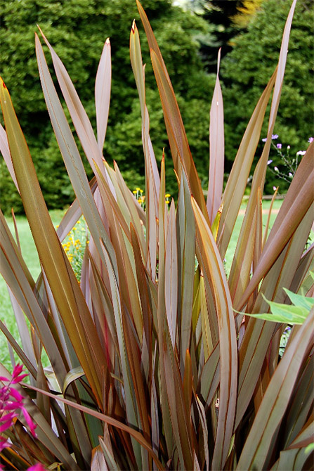 New Zealand Flax Growing Facts