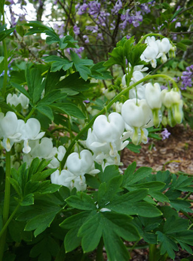 Bleeding Heart Plant Care