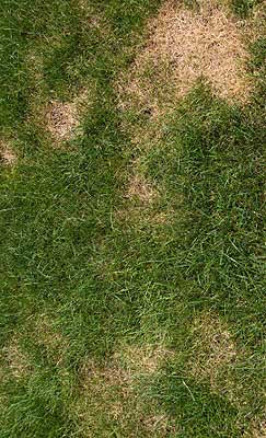 Damage to Lawns White Curl Grubs