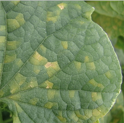 Downy Mildew Disease Control Tips