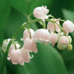 Pink flowered lily of the valley