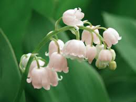 Lily of the Valley Planting the Pips