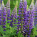 Growing Russell Lupins Plants