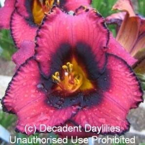 Rare Daylily For Sale
