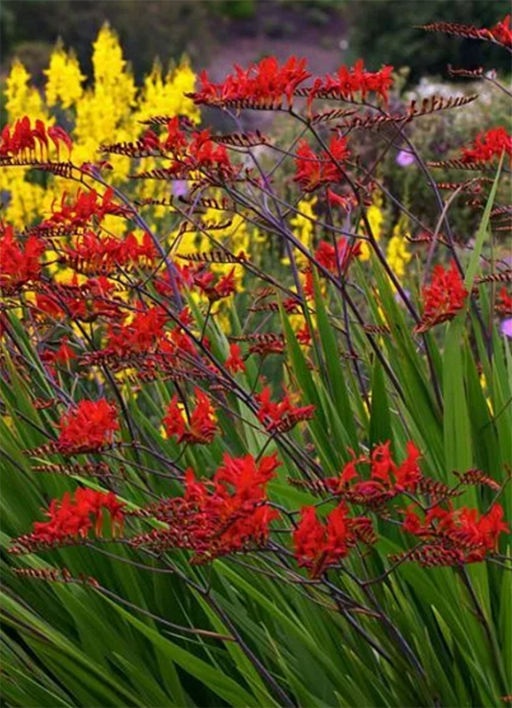 Crocosmia Lucifer Bulbs How to Grow Care Store Bulbs after Flowering