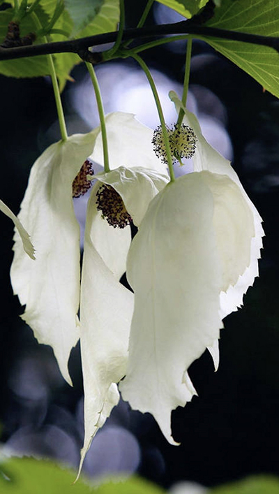 Davidia Involucrata Dove Tree, Handkerchief Tree, Pocket Handkerchief Tree, Ghost Tree