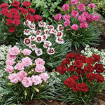 Dianthus Plant Planting and Care
