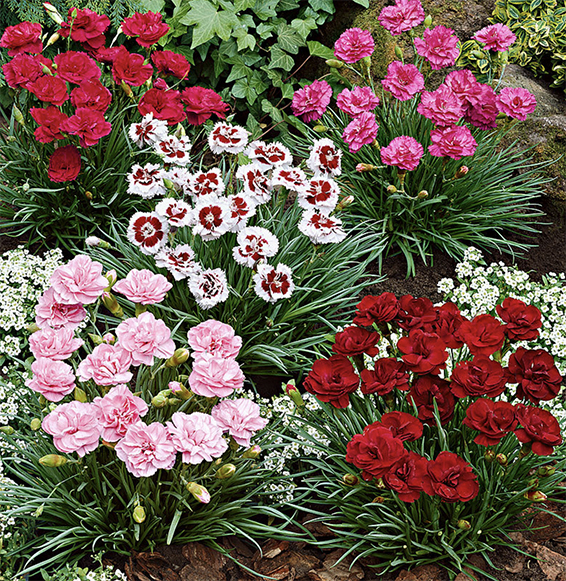 Dianthus Growing Caring Propagating Dianthus Plants