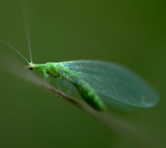 Green Lacewing predators of a wide range of pests including aphids whiteflies