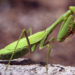 Praying Mantis Pest Control