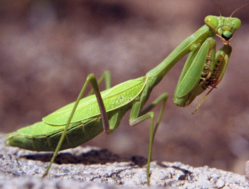How to attract a praying mantis to your garden