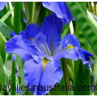 Louisiana Iris For Sale