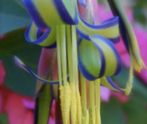 Colourful close up of queens tears flower