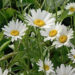 Shasta Daisies Planting and Care