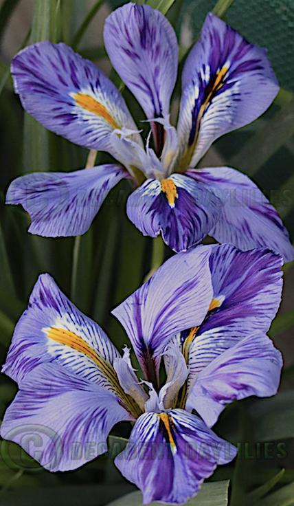 Winter Iris flowers with purple stripes and orange beards.