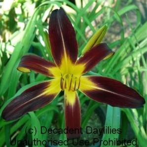 Spider Daylily For Sale Black Plush