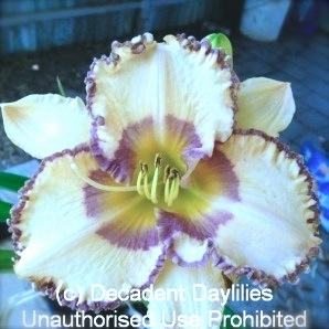 Blueberry Baroque Daylily