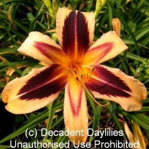 Shop Spider Daylilies