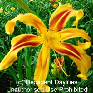 Moaner Wind Dancer Daylily