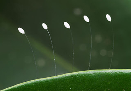 single lacewing eggs