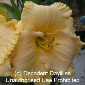 Space Coast Cream Supreme Daylily