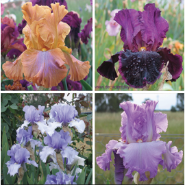 10 Different Coloured Tall Bearded Irises For Sale $50