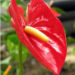 Flamingo Flower Growing Caring