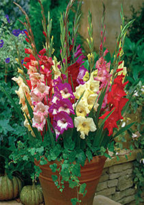 Daylilies In Australia Gladiolus Care How To Store