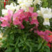 Snapdragons Growing Caring Tips