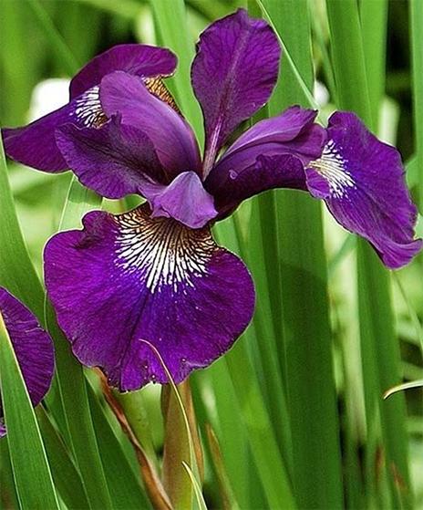 Siberian Iris Or Iris Sibirica