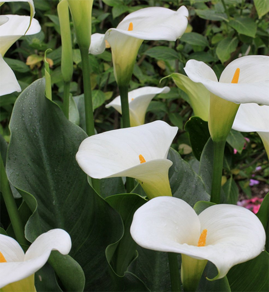 Arum Lily Zantedeschia Aethiopica calla genus and still carries the common name of Calla Lily