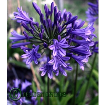 Flowering Size Agapanthus Guilfoyle