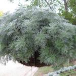 Silver Mound Artemisia Schmidtiana