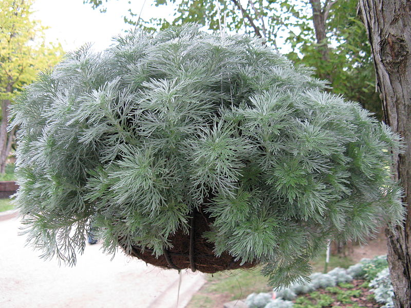 Artemisia silver mound growing in a hanging basket