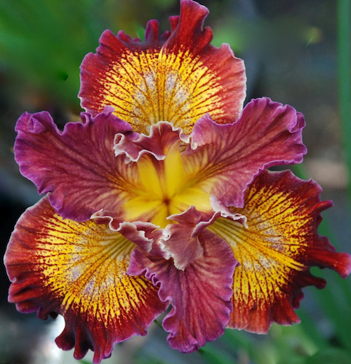 Colourful red and yellow Pacific Coast Iris