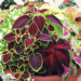 How to Propagate Coleus Shrub