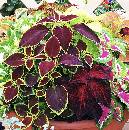 Liven up your Garden with Coleus Plants or use as Potted Colour propagation by seeds or cuttings