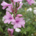 Watsonia Growing Care Notes